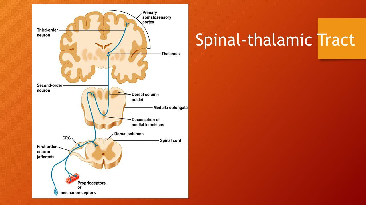 Spinal-thalamic Tract