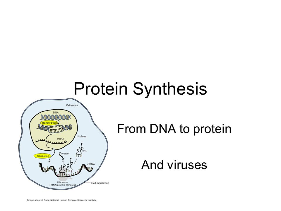 Protein Synthesis From DNA to protein And viruses