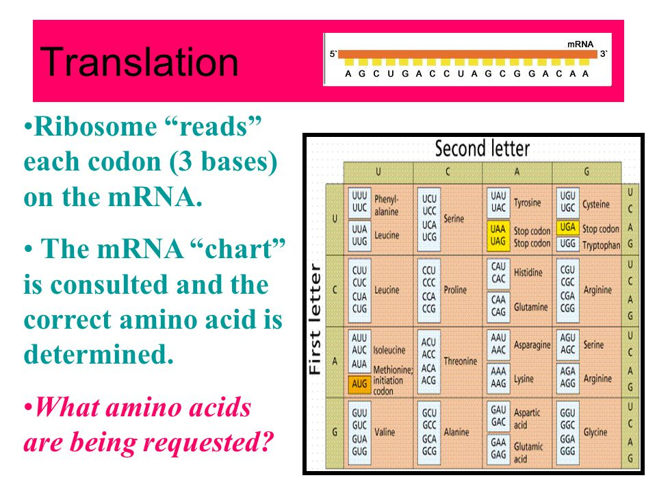 Translation Ribosome reads each codon (3 bases) on the mRNA.