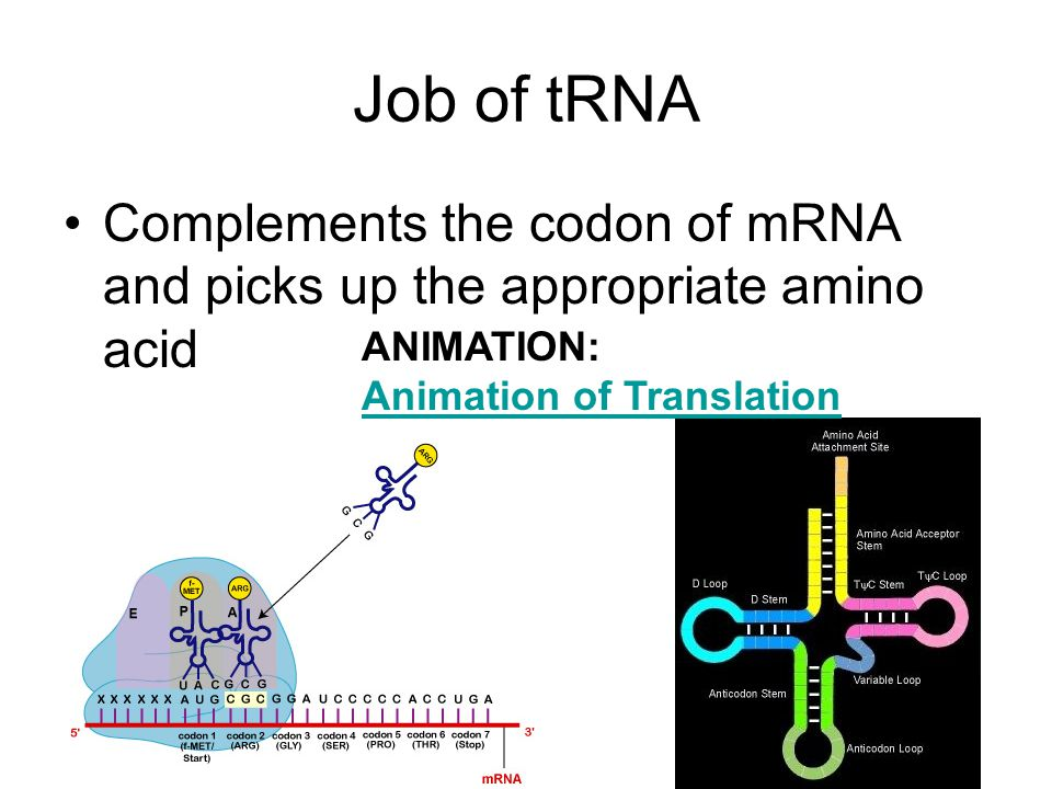 Job of tRNA Complements the codon of mRNA and picks up the appropriate amino acid ANIMATION: Animation of Translation