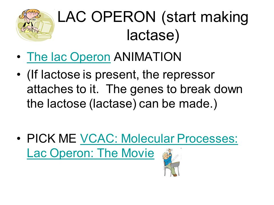 LAC OPERON (start making lactase) The lac Operon ANIMATIONThe lac Operon (If lactose is present, the repressor attaches to it.