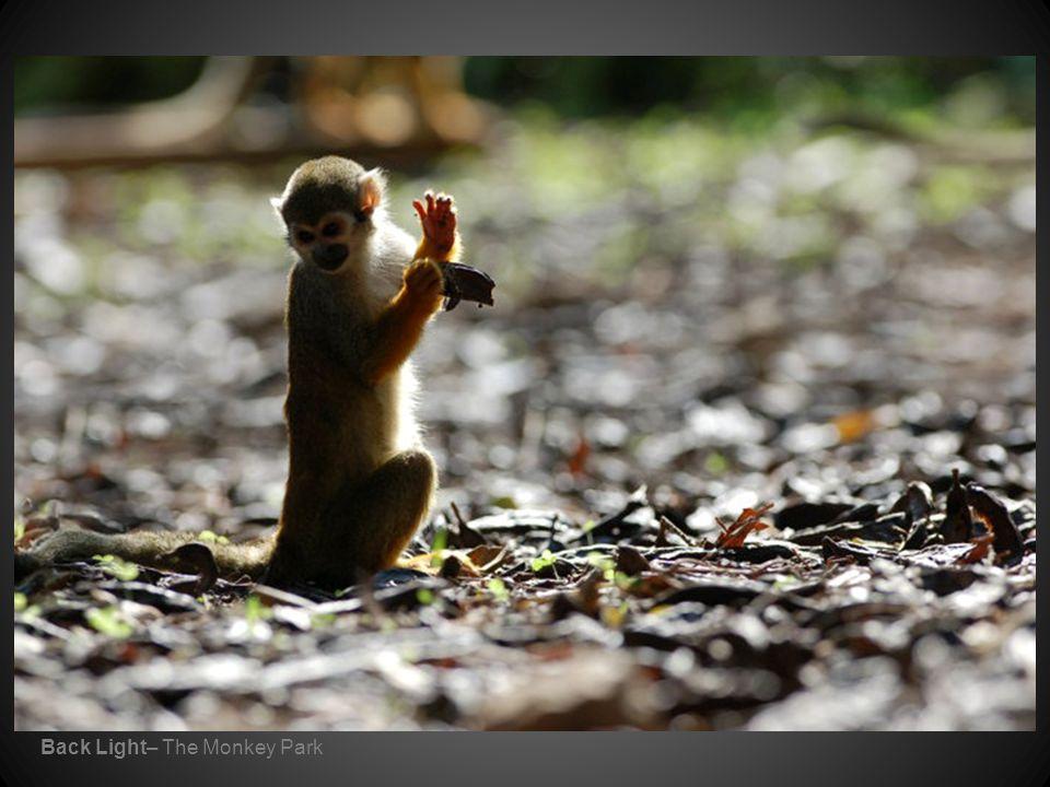 Back Light– The Monkey Park