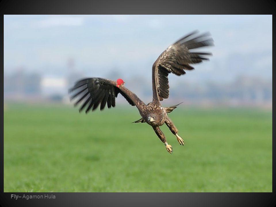 Fly– Agamon Hula