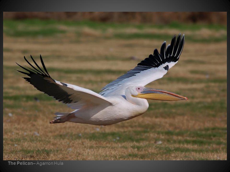 The Pelican– Agamon Hula
