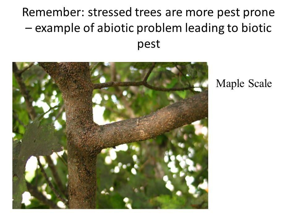 Remember: stressed trees are more pest prone – example of abiotic problem leading to biotic pest Maple Scale