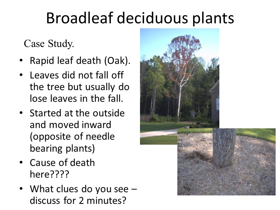 Broadleaf deciduous plants Rapid leaf death (Oak). Leaves did not fall off the tree but usually do lose leaves in the fall. Started at the outside and