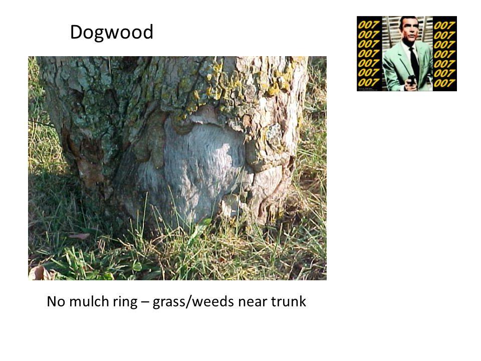 No mulch ring – grass/weeds near trunk Dogwood