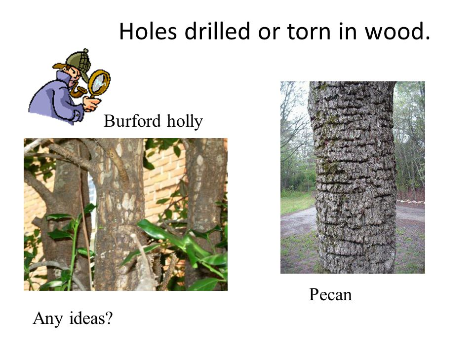 Holes drilled or torn in wood. Burford holly Pecan Any ideas?