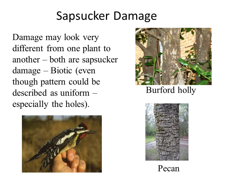 Sapsucker Damage Burford holly Pecan Damage may look very different from one plant to another – both are sapsucker damage – Biotic (even though patter