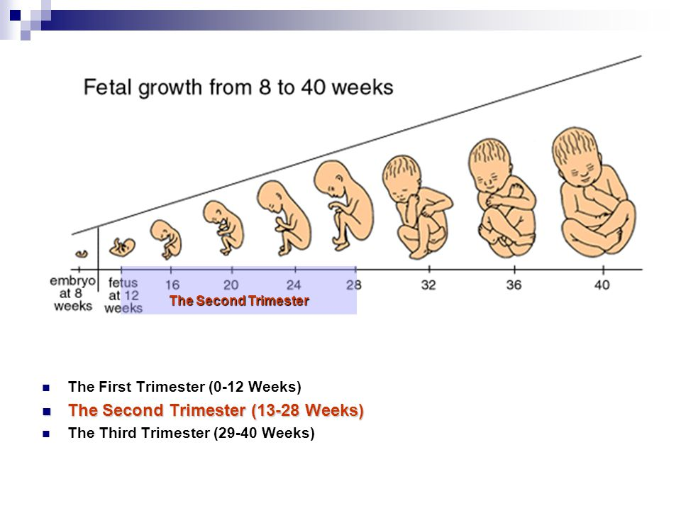 The First Trimester (0-12 Weeks) The Second Trimester (13-28 Weeks) The Second Trimester (13-28 Weeks) The Third Trimester (29-40 Weeks) The Second Tr