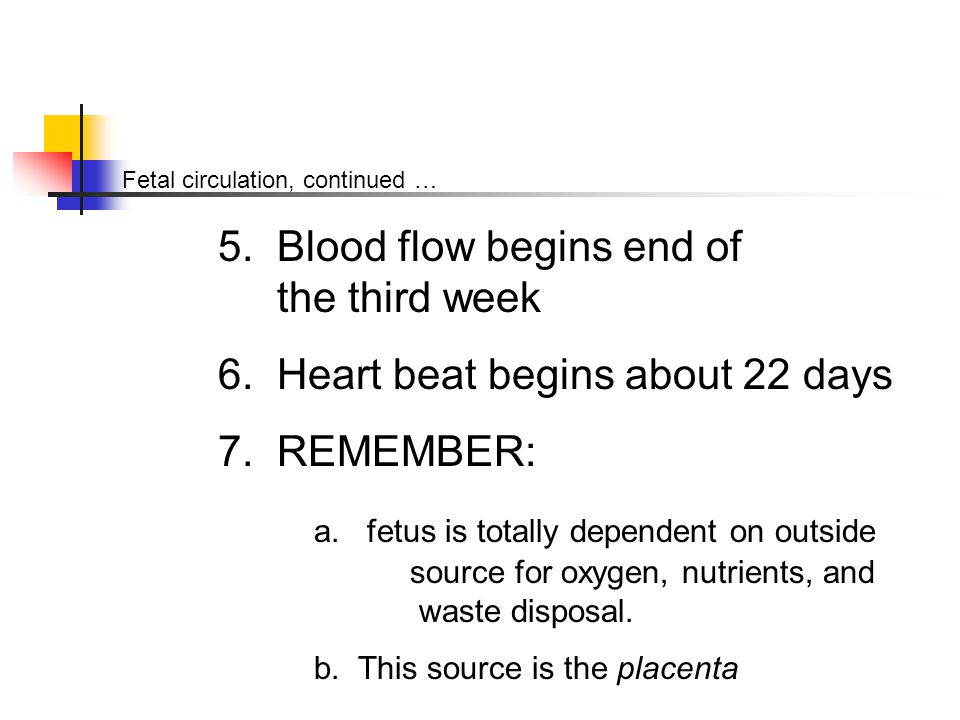 Fetal circulation, continued … 5. Blood flow begins end of the third week 6.