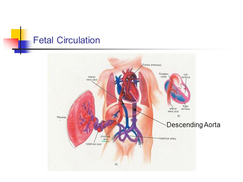 Fetal Circulation Descending Aorta