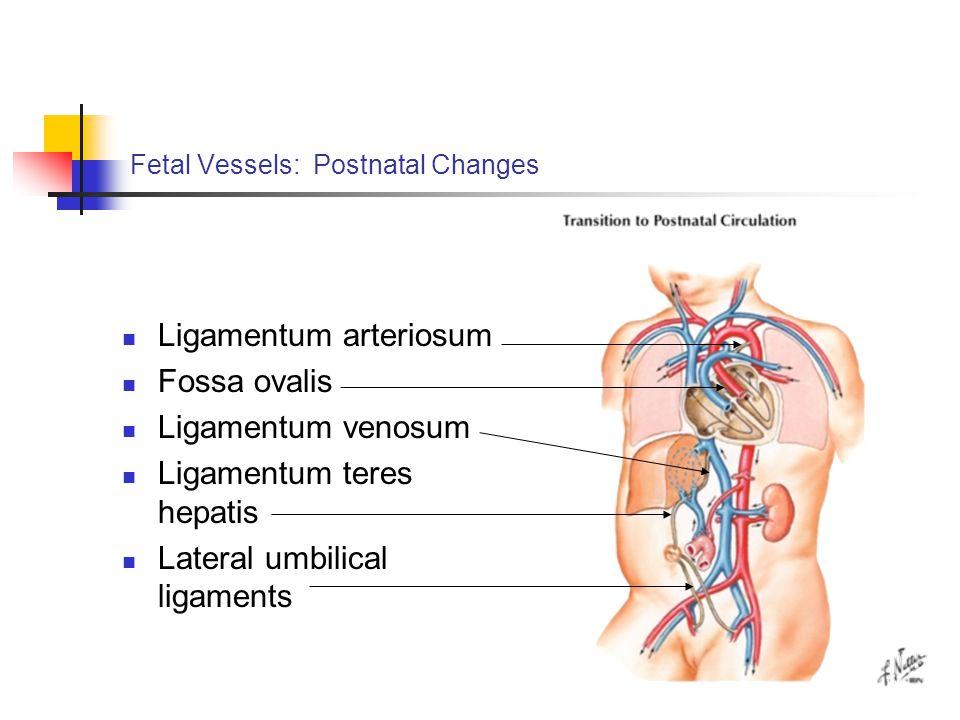 Fetal Vessels: Postnatal Changes Ligamentum arteriosum Fossa ovalis Ligamentum venosum Ligamentum teres hepatis Lateral umbilical ligaments