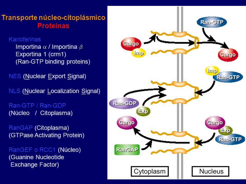 Karioferinas Importina  / Importina  Exportina 1 (crm1) (Ran-GTP binding proteins) NES (Nuclear Export Signal) NLS (Nuclear Localization Signal) Ran