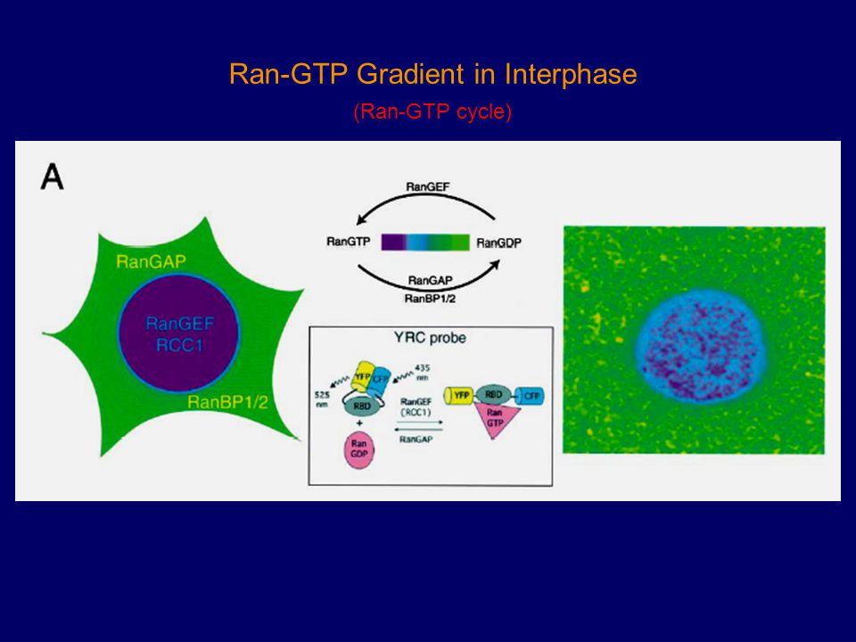 Ran-GTP Gradient in Interphase (Ran-GTP cycle)