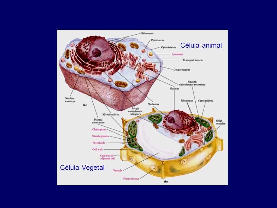 Exportación: Proteinas a Citoplasma. Exportina 1 (crm1)