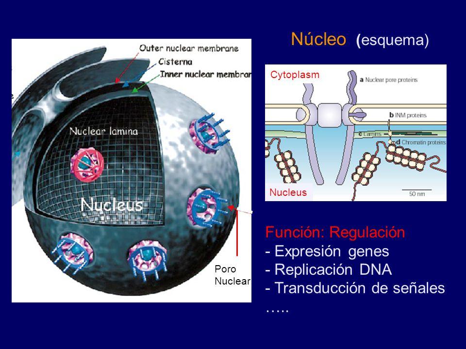 Poro Nuclear Nucleus Cytoplasm Núcleo (esquema) Función: Regulación - Expresión genes - Replicación DNA - Transducción de señales …..