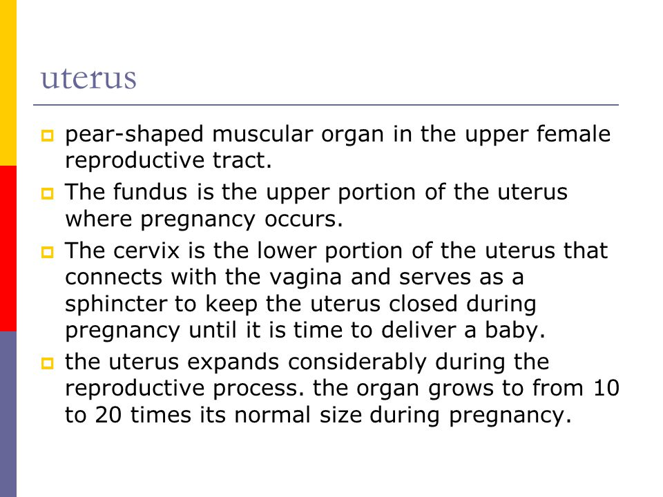 uterus  pear-shaped muscular organ in the upper female reproductive tract.  The fundus is the upper portion of the uterus where pregnancy occurs. 