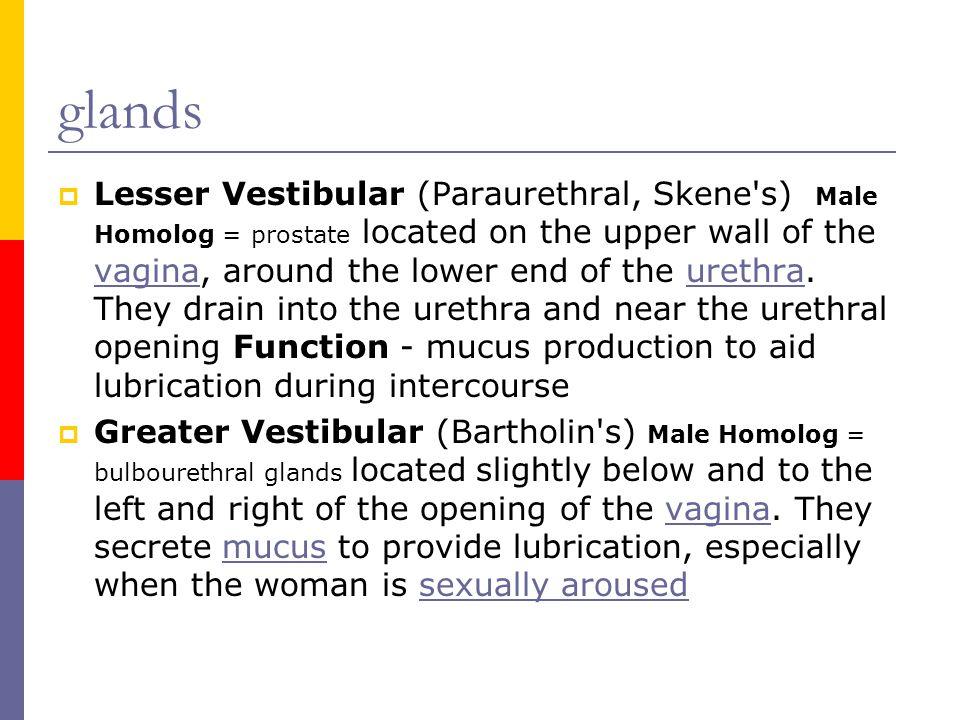 glands  Lesser Vestibular (Paraurethral, Skene's) Male Homolog = prostate located on the upper wall of the vagina, around the lower end of the urethr