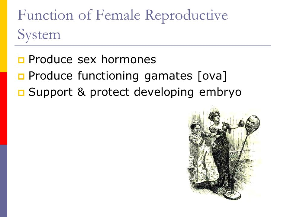 Function of Female Reproductive System  Produce sex hormones  Produce functioning gamates [ova]  Support & protect developing embryo