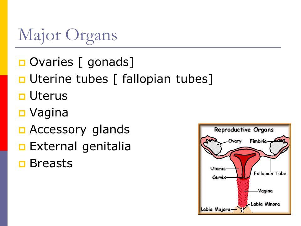 Major Organs  Ovaries [ gonads]  Uterine tubes [ fallopian tubes]  Uterus  Vagina  Accessory glands  External genitalia  Breasts