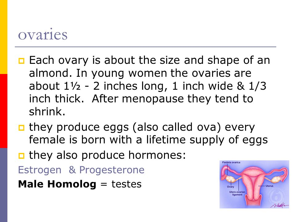 ovaries  Each ovary is about the size and shape of an almond. In young women the ovaries are about 1½ - 2 inches long, 1 inch wide & 1/3 inch thick.