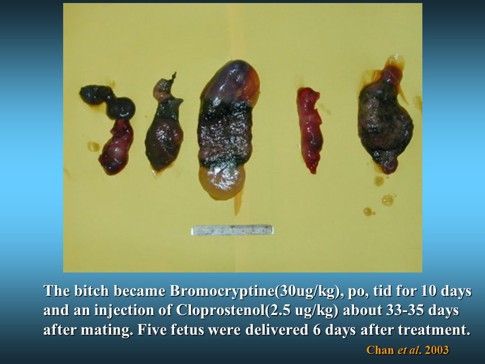 The bitch became Bromocryptine(30ug/kg), po, tid for 10 days and an injection of Cloprostenol(2.5 ug/kg) about 33-35 days after mating.
