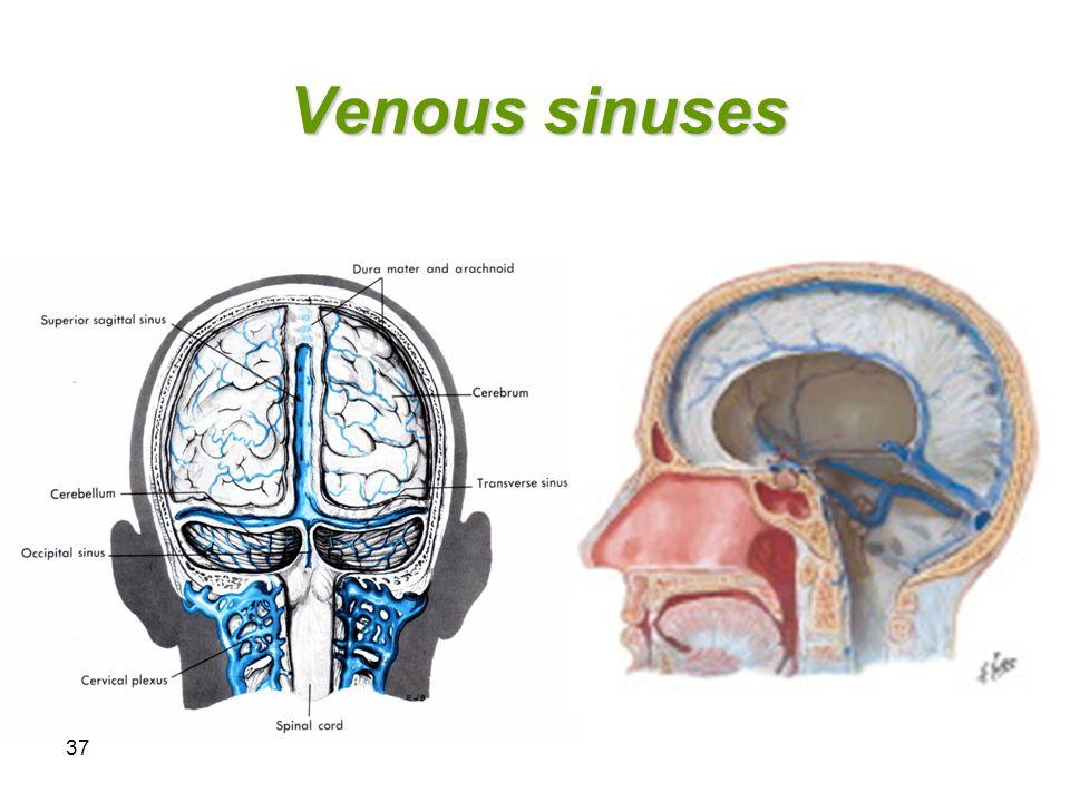 37 Venous sinuses