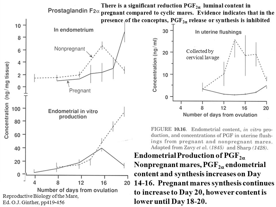 Endometrial Production of PGF 2  Nonpregnant mares, PGF 2  endometrial content and synthesis increases on Day 14-16.