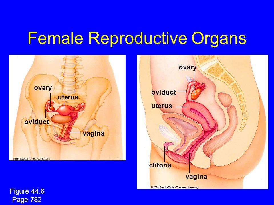 Female Reproductive Organs vagina uterus oviduct ovary vagina clitoris oviduct ovary uterus Figure 44.6 Page 782