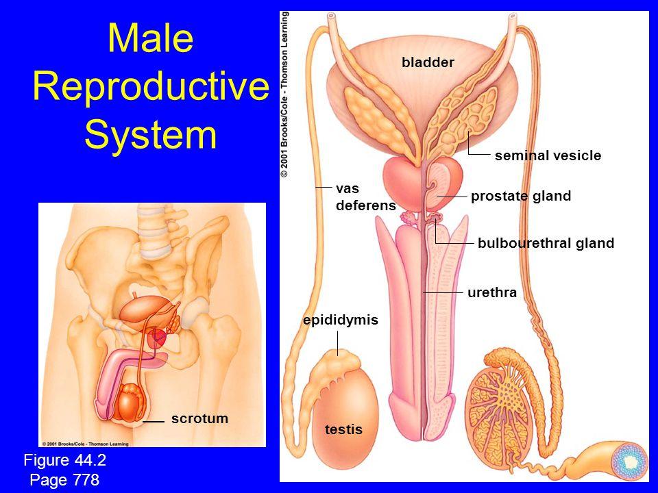 Male Reproductive System vas deferens epididymis testis penis seminal vesicle prostate gland bulbourethral gland urethra bladder scrotum Figure 44.2 Page 778