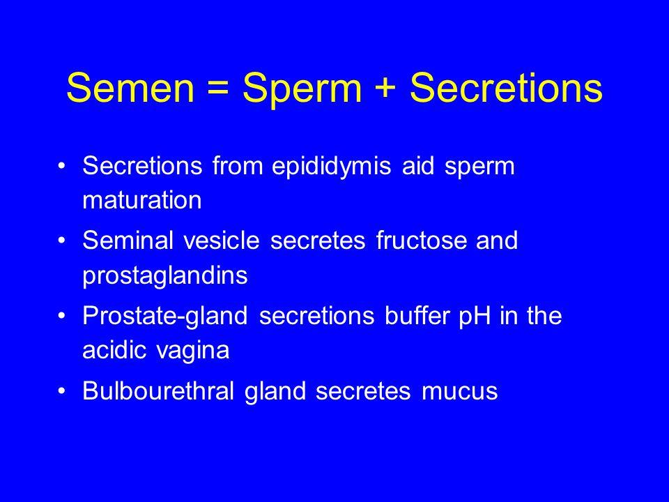 Semen = Sperm + Secretions Secretions from epididymis aid sperm maturation Seminal vesicle secretes fructose and prostaglandins Prostate-gland secretions buffer pH in the acidic vagina Bulbourethral gland secretes mucus