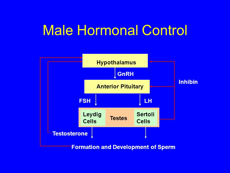 Male Hormonal Control Hypothalamus Anterior Pituitary GnRH LHFSH Sertoli Cells Leydig Cells Testes Testosterone Inhibin Formation and Development of S