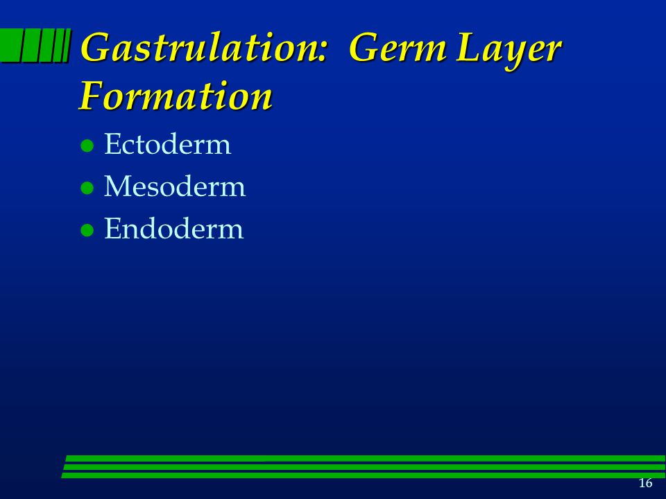 16 Gastrulation: Germ Layer Formation l Ectoderm l Mesoderm l Endoderm