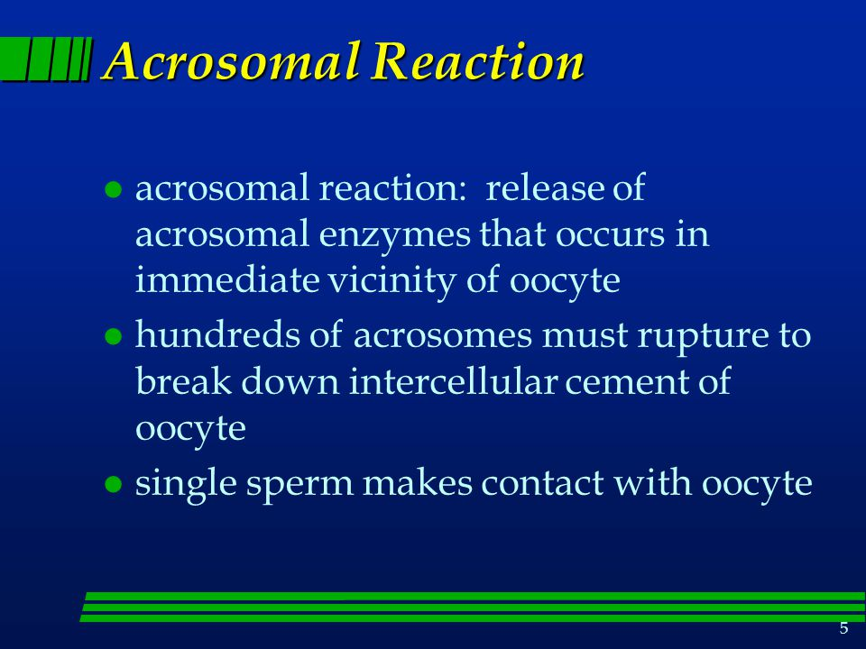 5 Acrosomal Reaction l acrosomal reaction: release of acrosomal enzymes that occurs in immediate vicinity of oocyte l hundreds of acrosomes must rupture to break down intercellular cement of oocyte l single sperm makes contact with oocyte