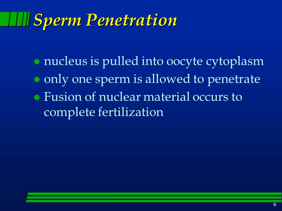 6 Sperm Penetration l nucleus is pulled into oocyte cytoplasm l only one sperm is allowed to penetrate l Fusion of nuclear material occurs to complete fertilization