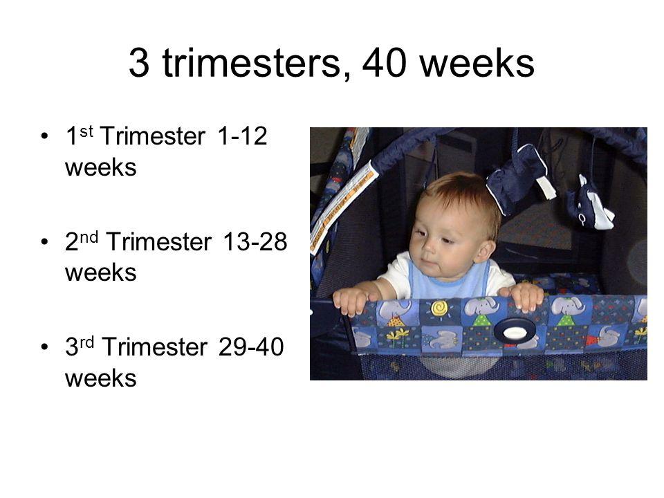 3 trimesters, 40 weeks 1 st Trimester 1-12 weeks 2 nd Trimester 13-28 weeks 3 rd Trimester 29-40 weeks