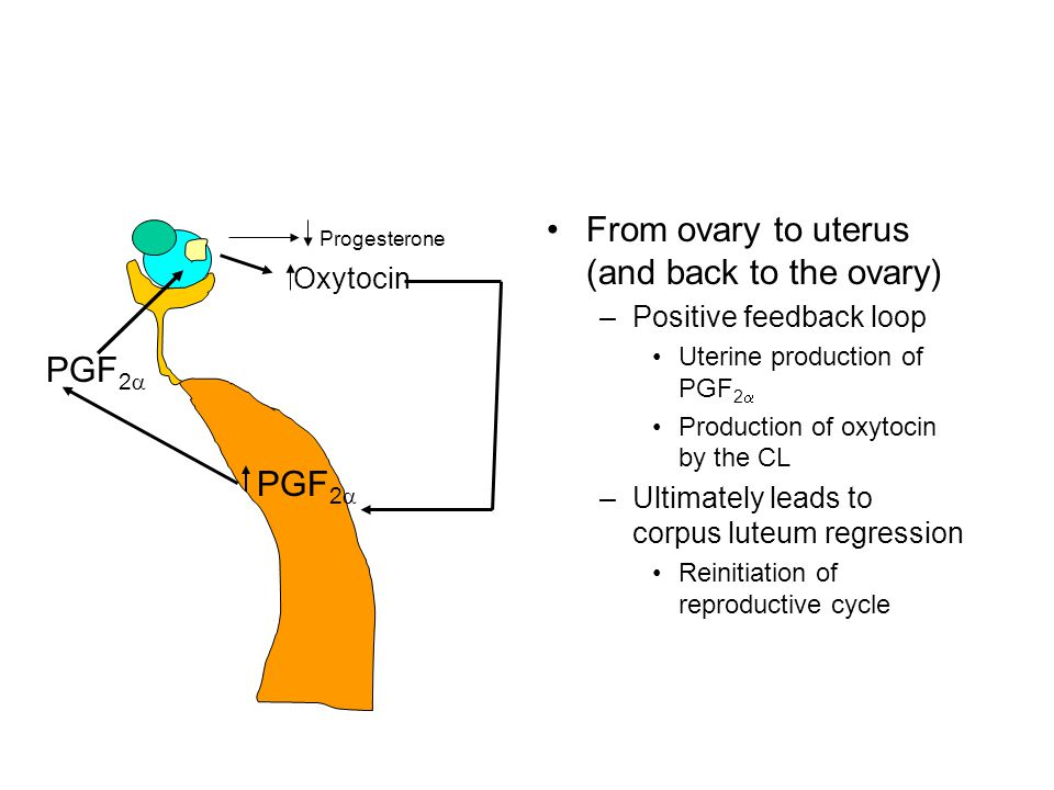 From ovary to uterus (and back to the ovary) –Positive feedback loop Uterine production of PGF 2  Production of oxytocin by the CL –Ultimately leads to corpus luteum regression Reinitiation of reproductive cycle PGF 2  Progesterone Oxytocin PGF 2 
