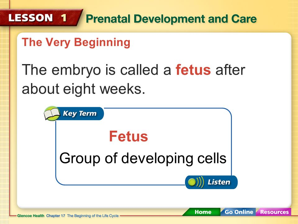 The Very Beginning After about two weeks, the zygote becomes an embryo.