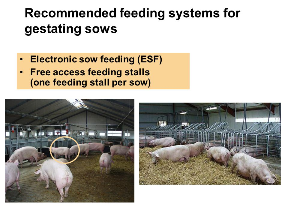Recommended feeding systems for gestating sows Electronic sow feeding (ESF) Free access feeding stalls (one feeding stall per sow)