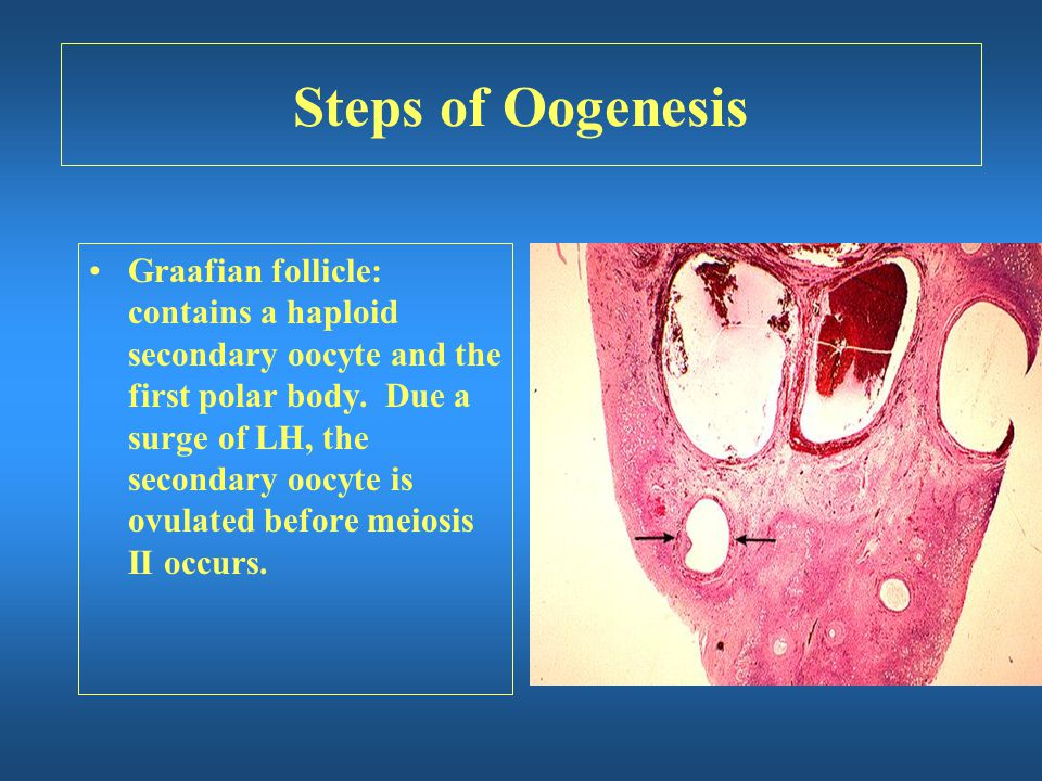 Steps of Oogenesis Graafian follicle: contains a haploid secondary oocyte and the first polar body. Due a surge of LH, the secondary oocyte is ovulate