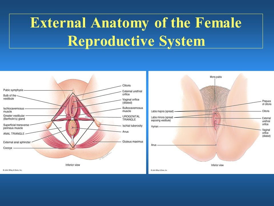 External Anatomy of the Female Reproductive System
