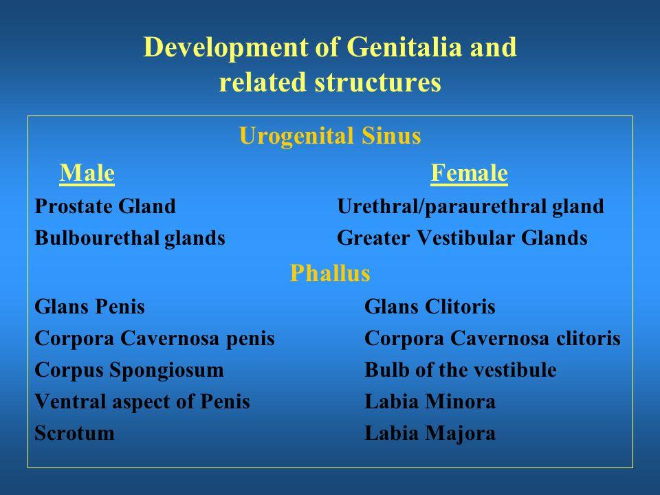 Urogenital Sinus MaleFemale Prostate Gland Urethral/paraurethral gland Bulbourethal glands Greater Vestibular Glands Phallus Glans PenisGlans Clitoris