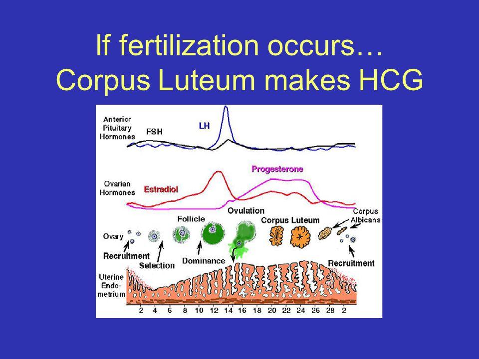 If fertilization occurs… Corpus Luteum makes HCG