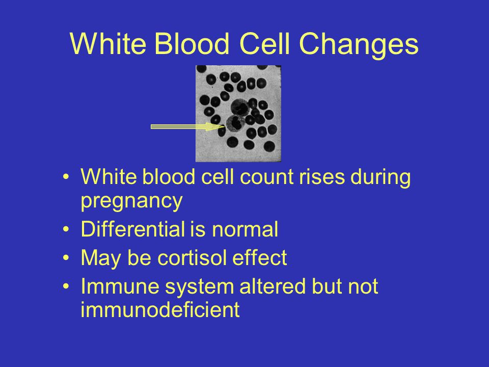 White Blood Cell Changes White blood cell count rises during pregnancy Differential is normal May be cortisol effect Immune system altered but not immunodeficient