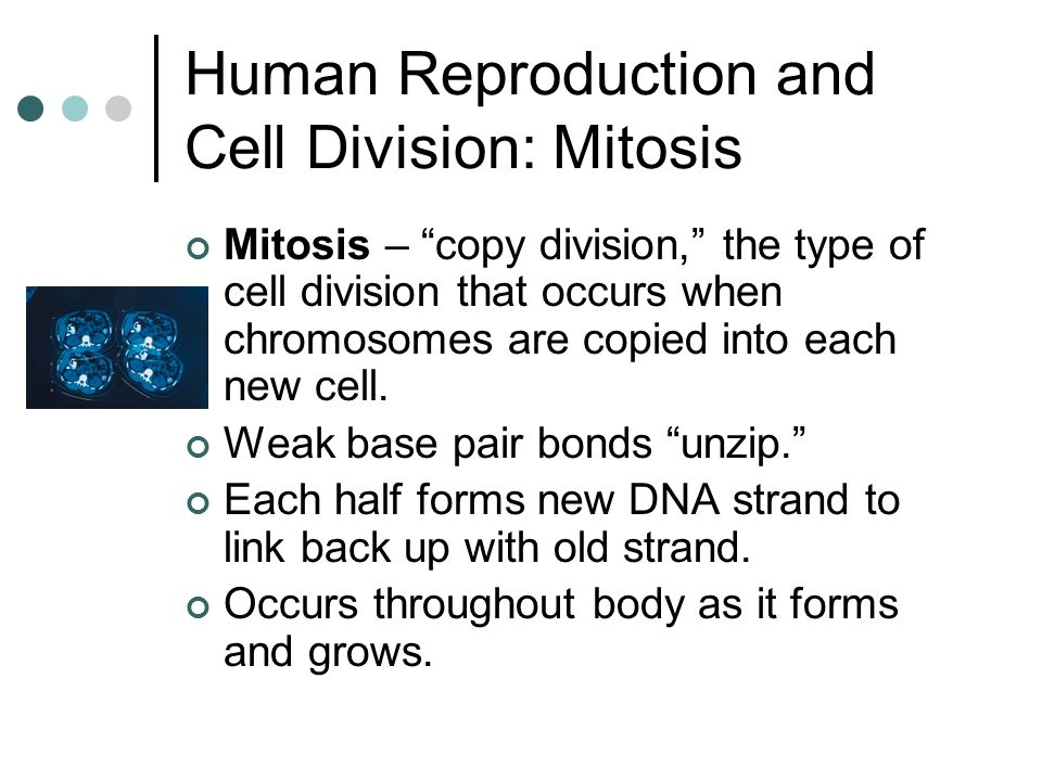 """Human Reproduction and Cell Division: Mitosis Mitosis – """"copy division,"""" the type of cell division that occurs when chromosomes are copied into each n"""
