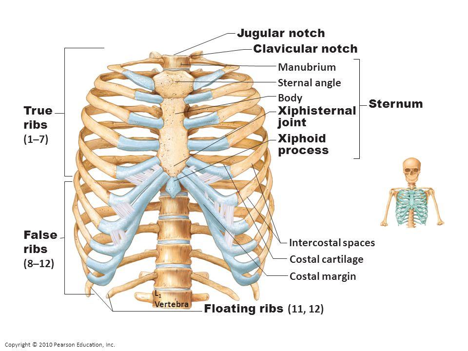 Copyright © 2010 Pearson Education, Inc. Intercostal spaces True ribs (1–7) False ribs (8–12) Jugular notch Clavicular notch Manubrium Sternal angle B