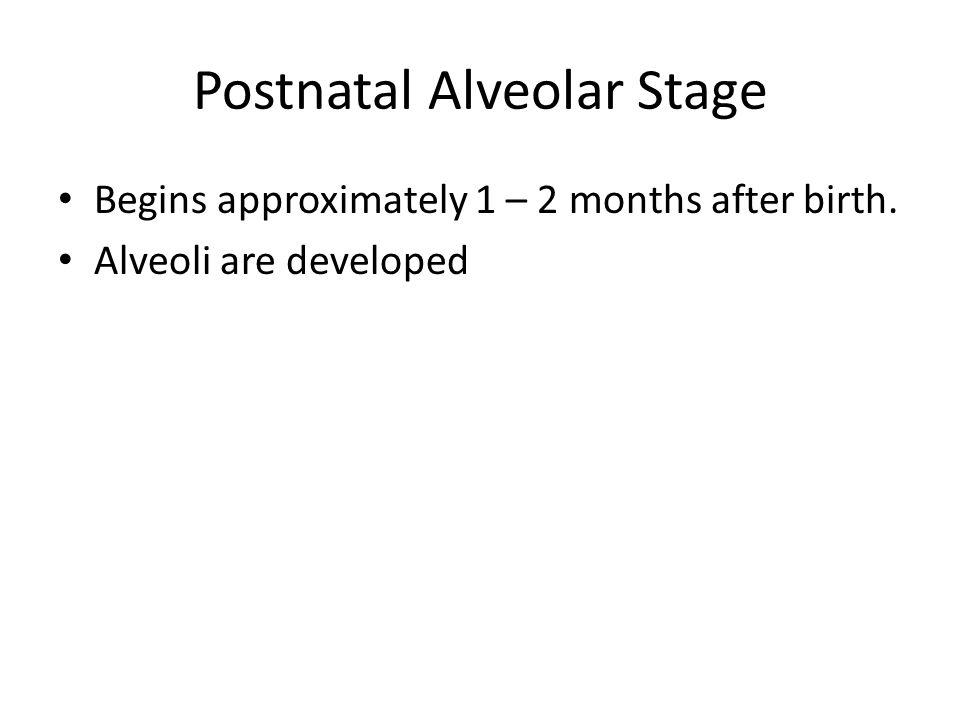 Postnatal Alveolar Stage Begins approximately 1 – 2 months after birth. Alveoli are developed