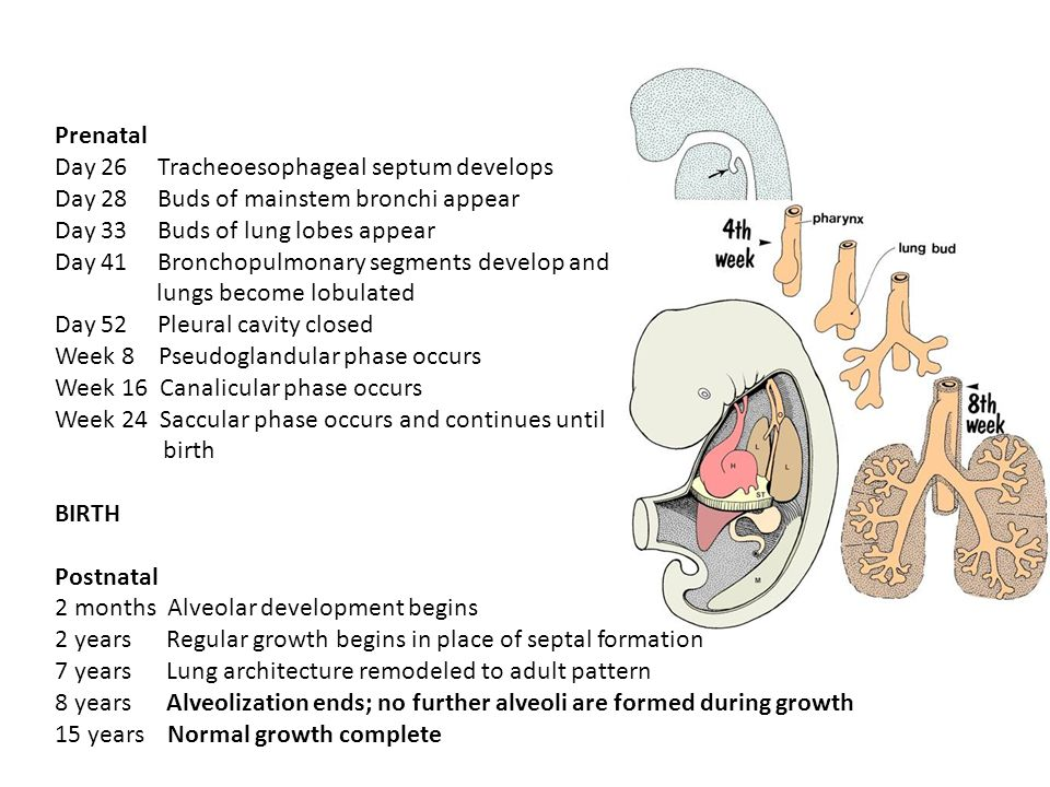 Day 26 Tracheoesophageal septum develops Day 28 Buds of mainstem bronchi appear Day 33 Buds of lung lobes appear Day 41 Bronchopulmonary segments deve