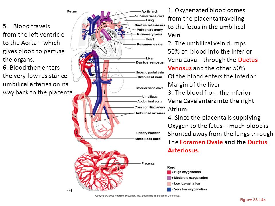 Figure 28.13a 1. Oxygenated blood comes from the placenta traveling to the fetus in the umbilical Vein 2. The umbilical vein dumps 50% of blood into t